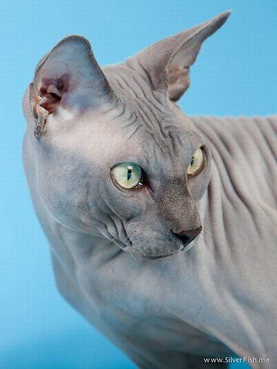Cat male - Rich Avatar - The Canadian Sphynx
